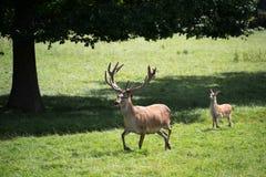 Cervus czerwony jeleni elaphus Obraz Royalty Free