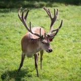 Cervus czerwony jeleni elaphus Zdjęcie Royalty Free