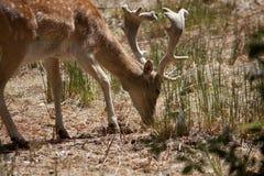 Cervus Dama deer Royalty Free Stock Photos