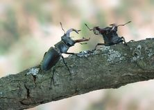 Cervus de Lucanus (coléoptère de mâle) image stock