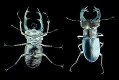 Cervus de Lucanus de scarabée de mâle d'isolement sur le blanc Dessus et bas Photo stock