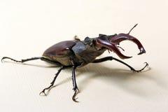 Cervus de Lucanus del escarabajo imágenes de archivo libres de regalías