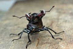 Cervus de Lucanus del escarabajo foto de archivo libre de regalías