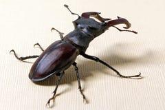 Cervus de Lucanus del escarabajo fotografía de archivo