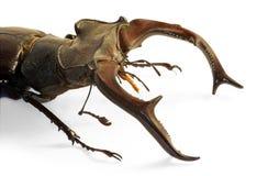 Cervus de Lucanus del escarabajo de macho Foto de archivo libre de regalías