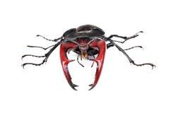 Cervus de Lucanus del escarabajo de macho de Brown Imagen de archivo libre de regalías