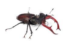 Cervus de Lucanus del escarabajo de macho de Brown Imágenes de archivo libres de regalías