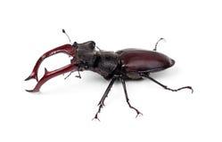 Cervus de Lucanus del escarabajo de macho de Brown imagen de archivo