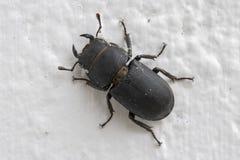 Cervus de Lucanus del escarabajo de macho fotografía de archivo