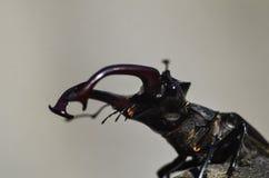 Cervus de Lucanus del escarabajo de macho en la madera Opini?n macra del insecto raro rojo de la lista, campo de la profundidad b fotografía de archivo