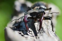 Cervus de Lucanus del escarabajo de macho en la madera Opini?n macra del insecto raro rojo de la lista, campo de la profundidad b imagen de archivo