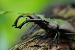 Cervus de Lucanus del escarabajo de macho en la madera Opini?n macra del insecto raro rojo de la lista, campo de la profundidad b fotos de archivo