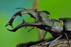 Cervus de Lucanus del escarabajo de macho en la madera Opini?n macra del insecto raro rojo de la lista, campo de la profundidad b fotos de archivo libres de regalías