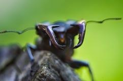 Cervus de Lucanus del escarabajo de macho en la madera Opini?n macra del insecto raro rojo de la lista, campo de la profundidad b imágenes de archivo libres de regalías