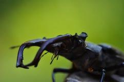 Cervus de Lucanus del escarabajo de macho en la madera Opini?n macra del insecto raro rojo de la lista, campo de la profundidad b imagenes de archivo