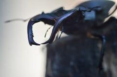 Cervus de Lucanus del escarabajo de macho en la madera Opini?n macra del insecto raro rojo de la lista, campo de la profundidad b foto de archivo libre de regalías