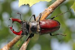Cervus de Lucanus del escarabajo de macho que se sienta en árbol imágenes de archivo libres de regalías