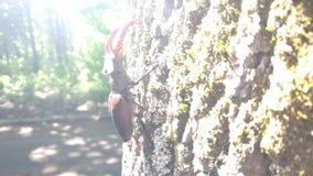 cervus de Lucanus do Veado-besouro video estoque