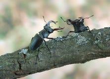 Cervus di Lucanus (scarabeo di maschio) Immagine Stock