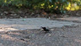 Cervus die van het insectenlucanus van de mannetjeskever grote ter plaatse kruipen stock footage
