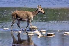 Cervus duvaucelii, swamp deer crossing the Karnali river, Bardia, Nepal Stock Image