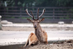 Cervus elaphus Royalty Free Stock Photography