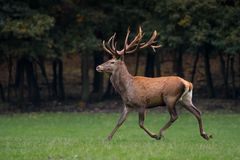 Red deer stag crossing the meadow Stock Photos