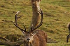 Cervus elaphus, czerwonego rogacza jelenia rutting zdjęcia stock
