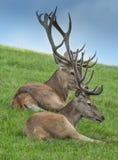 Cervus elaphus Royalty Free Stock Photos