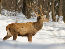 Cervus elaphus. Passed in front of the lens and began to eat stock photos