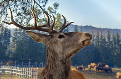 Wild animal. Portrait of a deer. Cervus elaphus Stock Photo