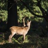 Cervus elaphus posteriore sbalorditivo dei cervi nobili della daina alla luce solare pezzata FO Immagine Stock