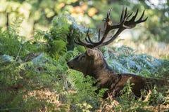 Cervus elaphus potente maestoso del maschio dei cervi nobili in landsca della foresta Fotografia Stock Libera da Diritti