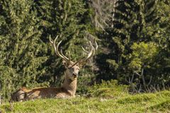 Red Deer, Cervus elaphus. A large mammal stock images