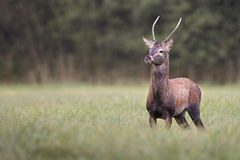 Cervus elaphus Royalty Free Stock Photos