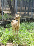 Cervus eldii thamin in  Wild Animal Caring and Breeding Center Royalty Free Stock Photos
