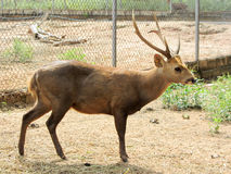 Cervus eldii thamin in  Wild Animal Caring and Breeding Center Stock Photography