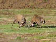 cervus jelenia elaphus czerwień Fotografia Stock