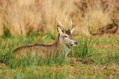 cervus jelenia elaphus czerwień Zdjęcie Stock