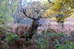 cervus jelenia elaphus czerwień Zdjęcia Stock