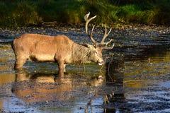 cervus jelenia elaphus czerwień Zdjęcie Royalty Free