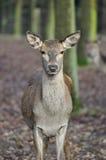 cervus jelenia elaphus czerwień Zdjęcia Royalty Free