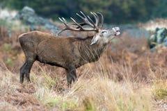 cervus jelenia elaphus czerwień Obraz Royalty Free