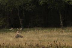 cervus jelenia elaphus czerwień Fotografia Royalty Free