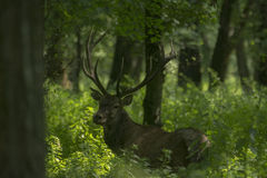 cervus jelenia elaphus czerwień Obraz Stock
