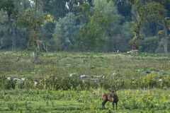 cervus jelenia elaphus czerwień Obrazy Stock