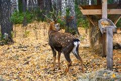 Cervus nipón de los ciervos de Sika Imágenes de archivo libres de regalías