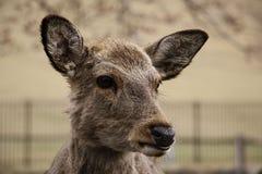 Cervus nip?nico dos cervos de Sika em Nara Park, Nara, ilha de Honshu, Jap?o imagem de stock royalty free