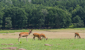 Cervus nippon deers grazing on the field in wild nature Royalty Free Stock Image
