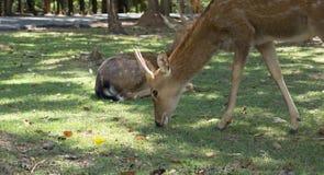 Cervus nippon feeding grass Stock Photography